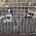How To Have Wildlife Safely Removed In Pickering